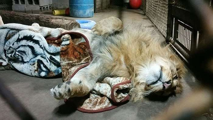 rescued african lion sleeping with blanket 13